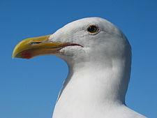 225px-Gull_portrait_ca_usa.jpg